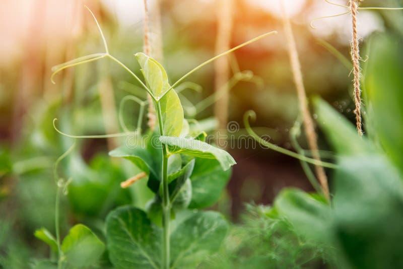 Spira gröna ärtor i trädgårdsolljus ?kerbruk comcept arkivfoto