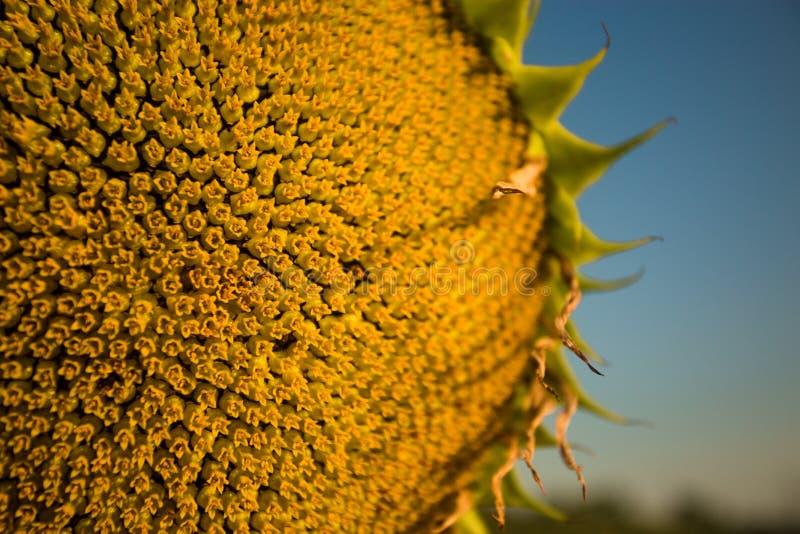 Spiraalvormig patroon in centrum van zonnebloem dichte verschijnende mooie textuur met keurig regeling royalty-vrije stock foto