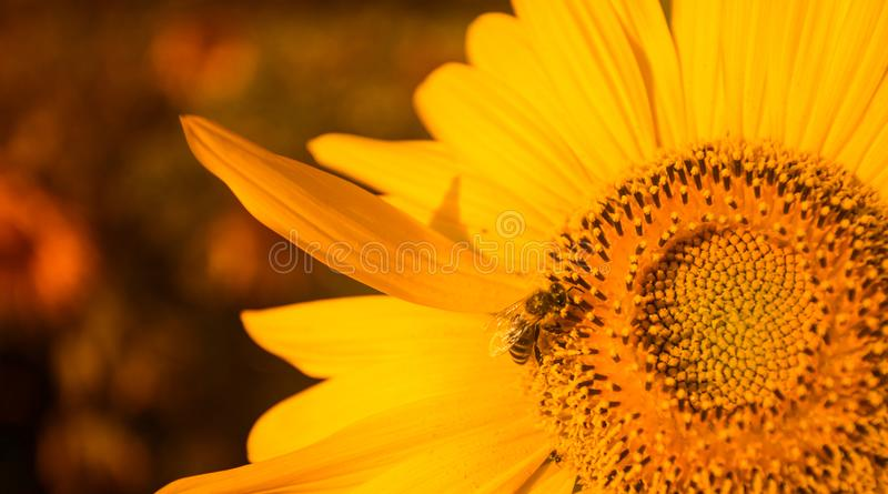 Spiraalvormig patroon in centrum van zonnebloem dichte verschijnende mooie textuur stock afbeelding