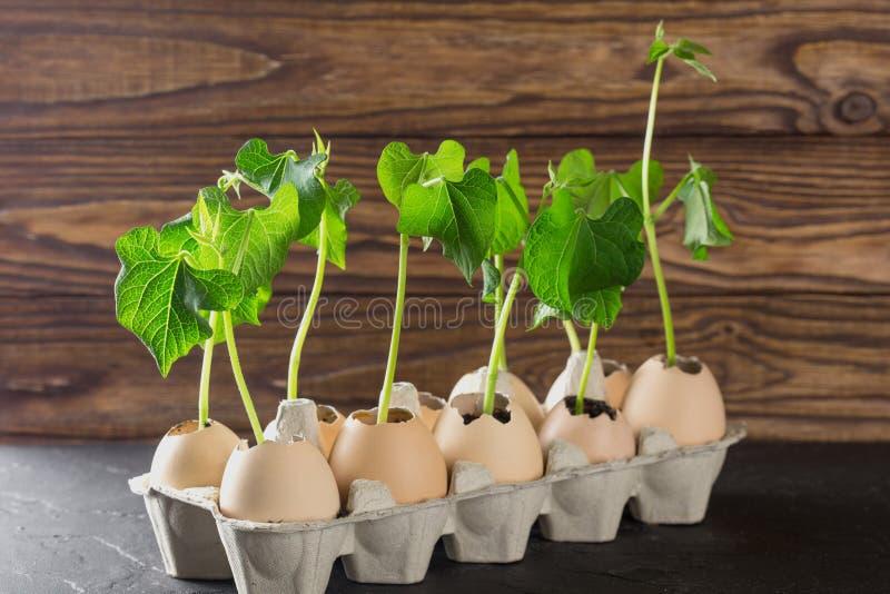 Spirade forsar av växter i äggskalet på träbakgrund Ägg återanvänder in den kraft packen royaltyfri fotografi