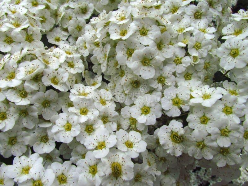 Spiraea alba, primer de la inflorescencia del dulce-prado, textura natural del flor macro, blanco, foto de archivo