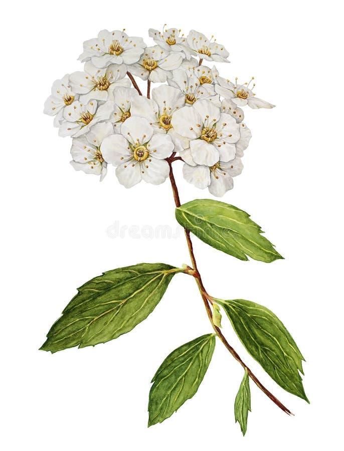 Spiraea bush watercolor stock illustration