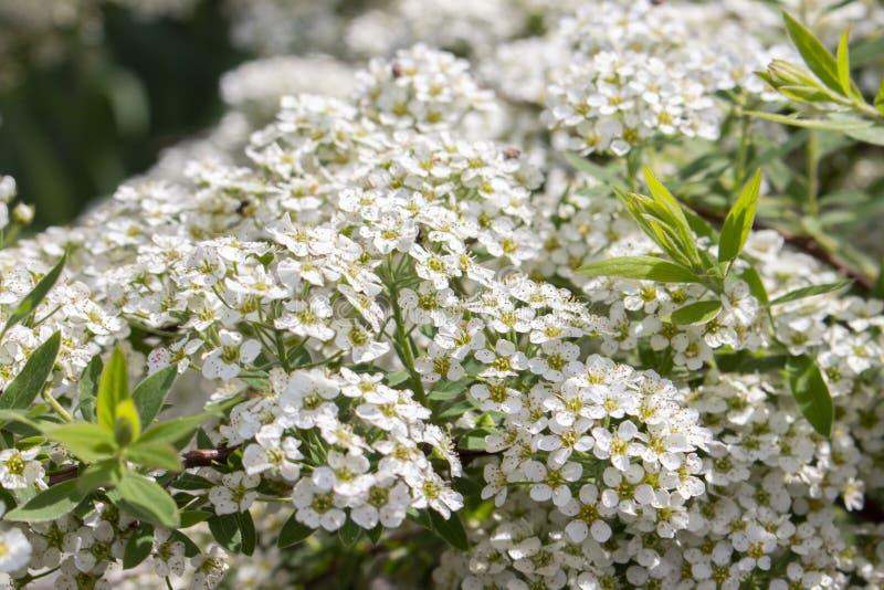 Spiraea cinerea askleurige kleine witte bloemen, de bloemenachtergrond van de close-uptextuur Bloeiende sierstruik Rosaceae, Bund stock fotografie