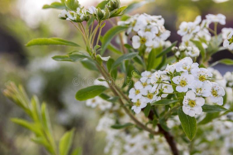 Spiraea cinerea in bloom gray grefsheim shrub with white flowers in download spiraea cinerea in bloom gray grefsheim shrub with white flowers in magic morning light mightylinksfo