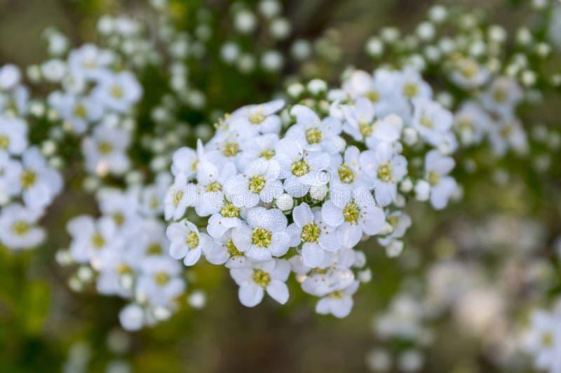 Spiraea cinerea w kwiacie, Szary Grefsheim krzak z białymi kwiatami w magicznym ranku świetle, rosa na kwiatach zdjęcie stock
