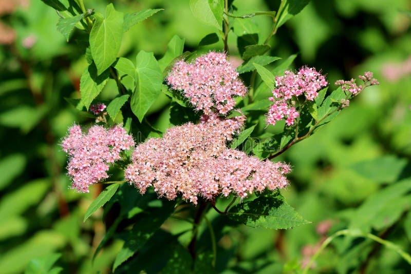 Spiraea giapponese o Spiraea japonica piccola principessa piccola pianta di arbusto deciduo con panini di rosa pallido immagini stock libere da diritti