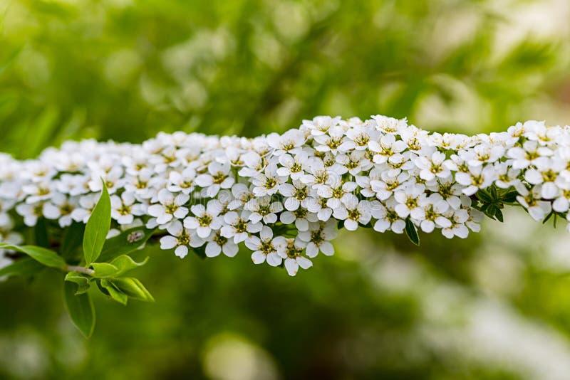 Spiraea Grefsheim cinerea biały kwiat z yellowe pollen jest obraz royalty free