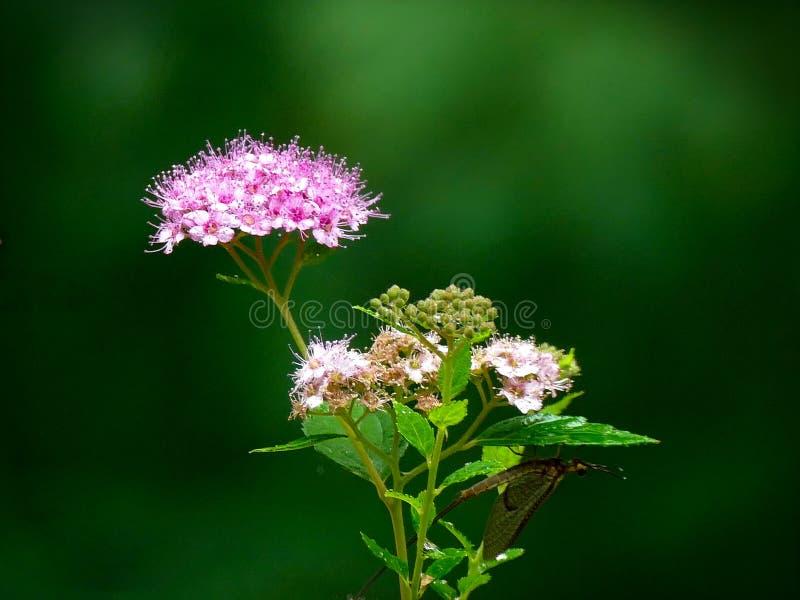 Spiraea japonês ou meadowsweet japonês - japonica do spiraea do rosaceae fotos de stock royalty free