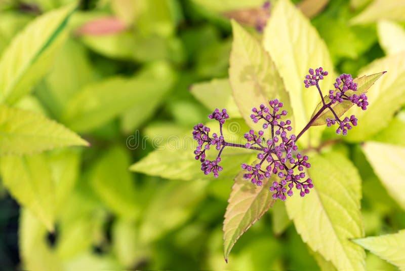 Spiraea Japonica με τους πορφυρούς οφθαλμούς στοκ φωτογραφίες