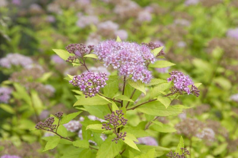 Download Spiraea japonica Blumen stockfoto. Bild von flowerbed - 96931566