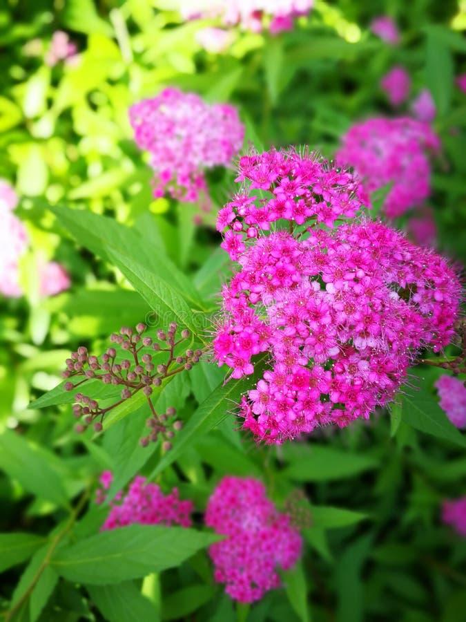 Spiraea japonica L. f. Red Spiraea japonica L. f royalty free stock photos
