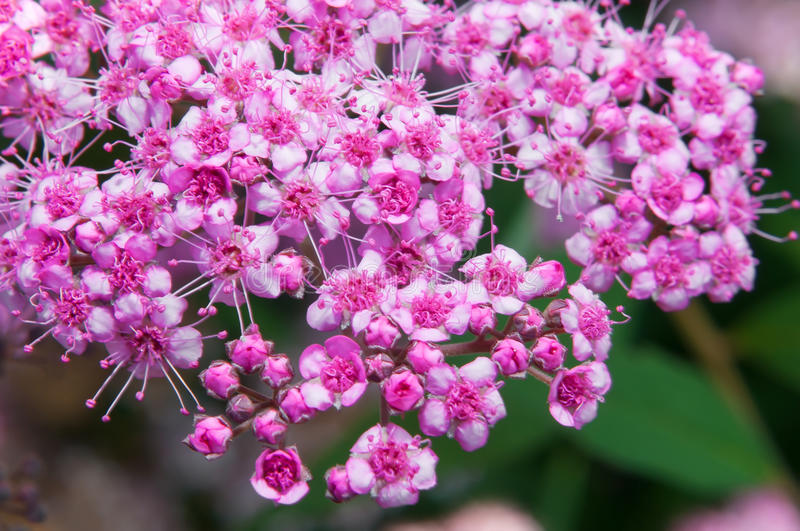 Spiraea Japonica. Pink flowers of Spiraea Japonica in close view royalty free stock photo