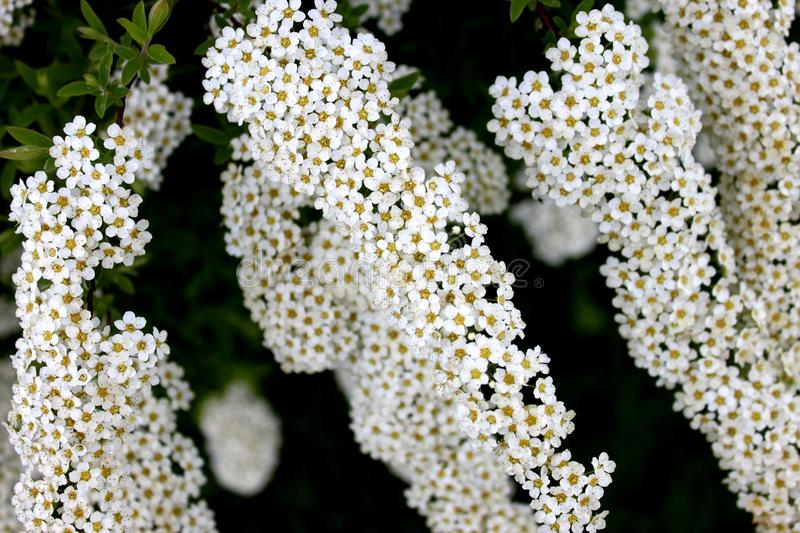 Spiraea shrub. The picture shows a spiraea shrub with beautiful flowers and wonderfully fragrant flowers royalty free stock photos