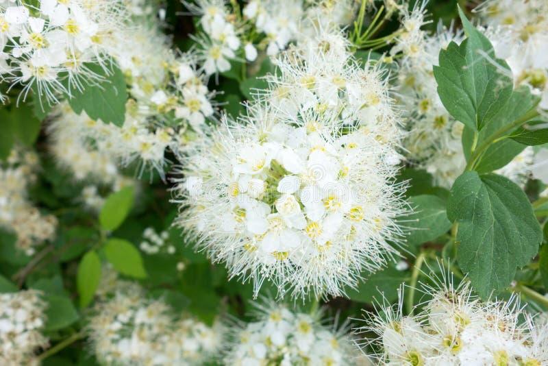 Spiraea Vanhoutei-Blumenbaum stockfotografie