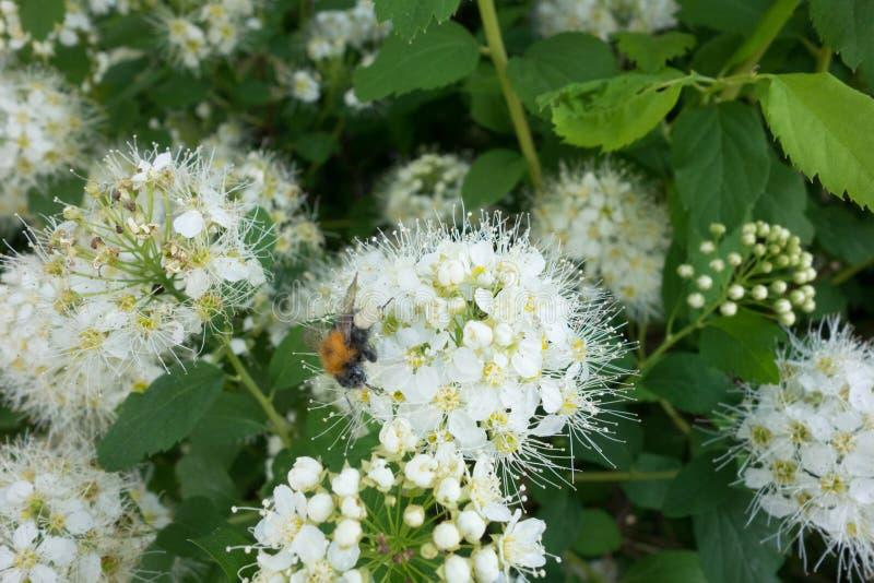Spiraea Vanhoutei-Blumenbaum stockfotos