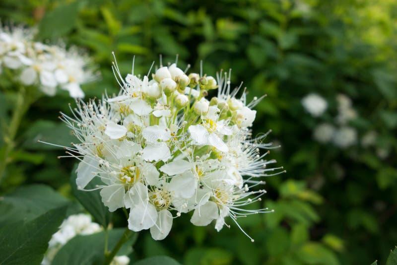 Spiraea Vanhoutei-Blumenbaum lizenzfreies stockfoto