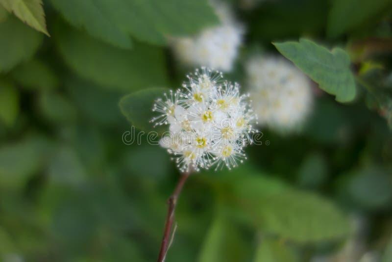 Spiraea Vanhoutei-Blumenbaum lizenzfreies stockbild