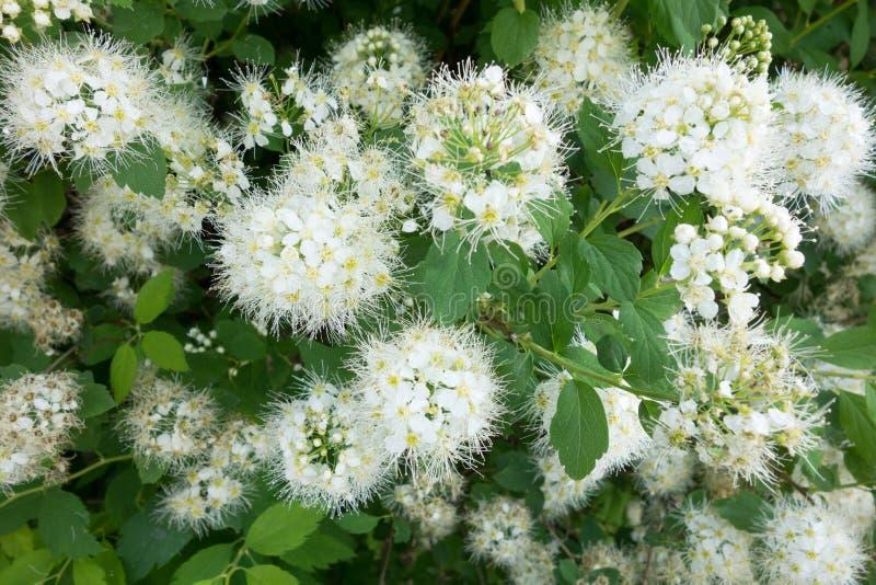 Spiraea Vanhoutei-Blumenbaum stockbilder