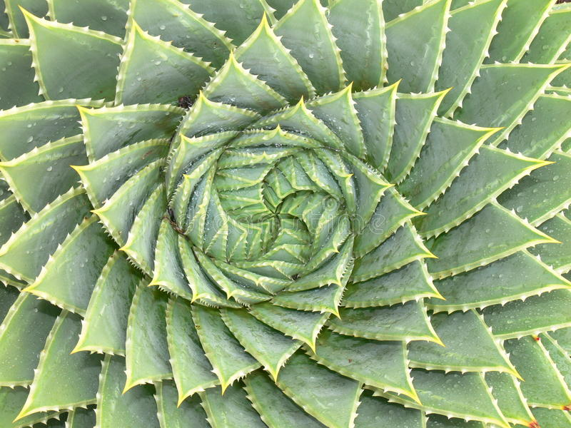 Spiral aloe royalty free stock images