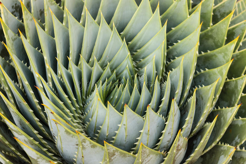 Spiral aloe leaves stock photography