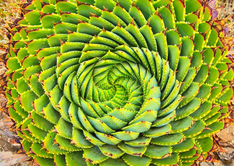 Spiral Aloe in Lesotho. Spiral Aloe is a traditional plant in Lesotho stock photos