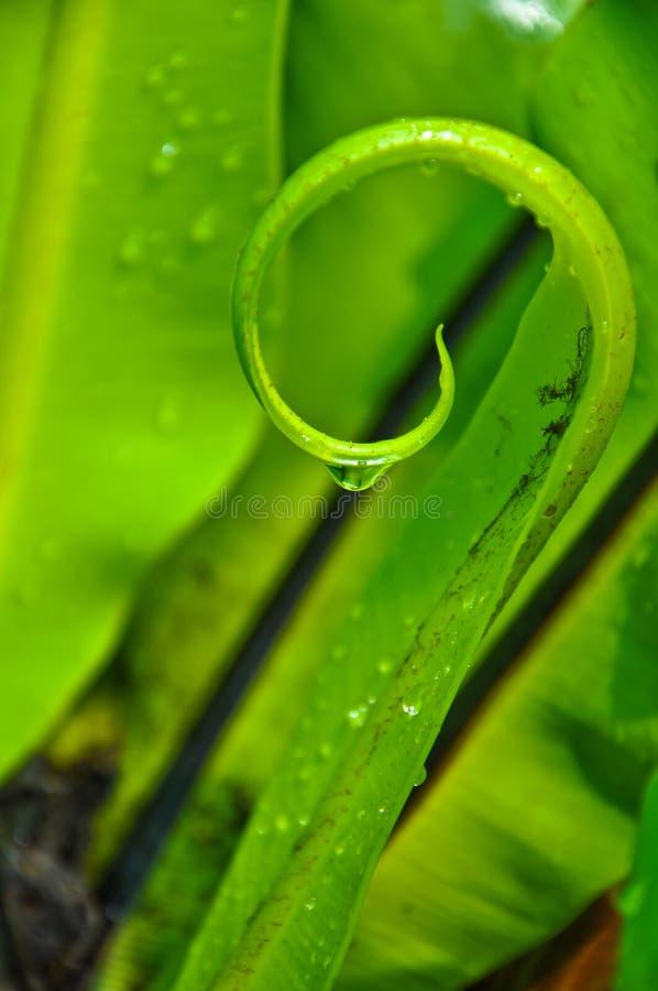 Spiral of Bird's Nest Fern Leaf stock image