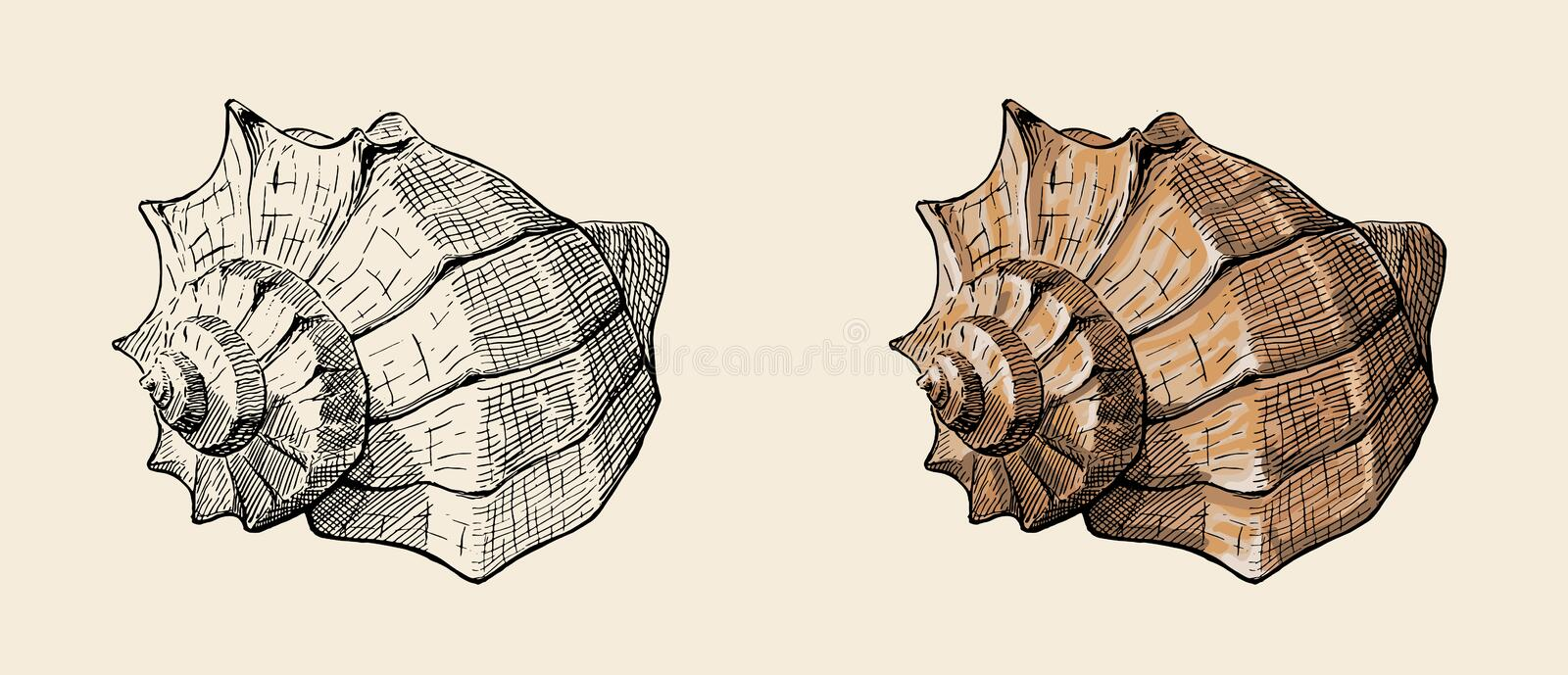 Spiral conch sea shell, hand drawn ink illustration, stock vector. Hand drawn vintage ink sketch of conch shell together with colorfully painted variant vector illustration
