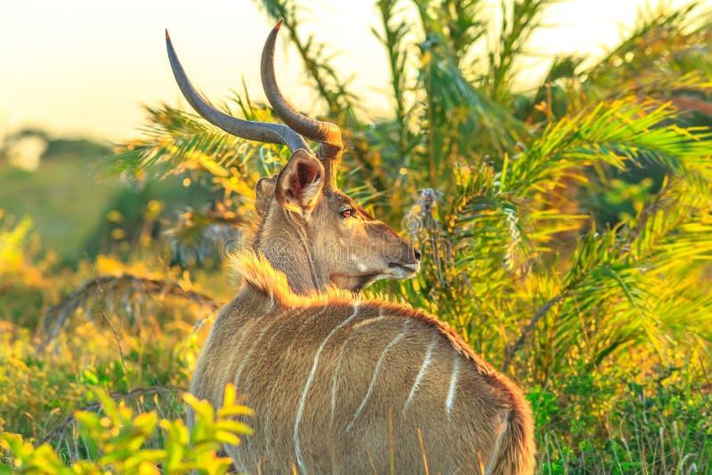 Spiral Horned antilop arkivbilder