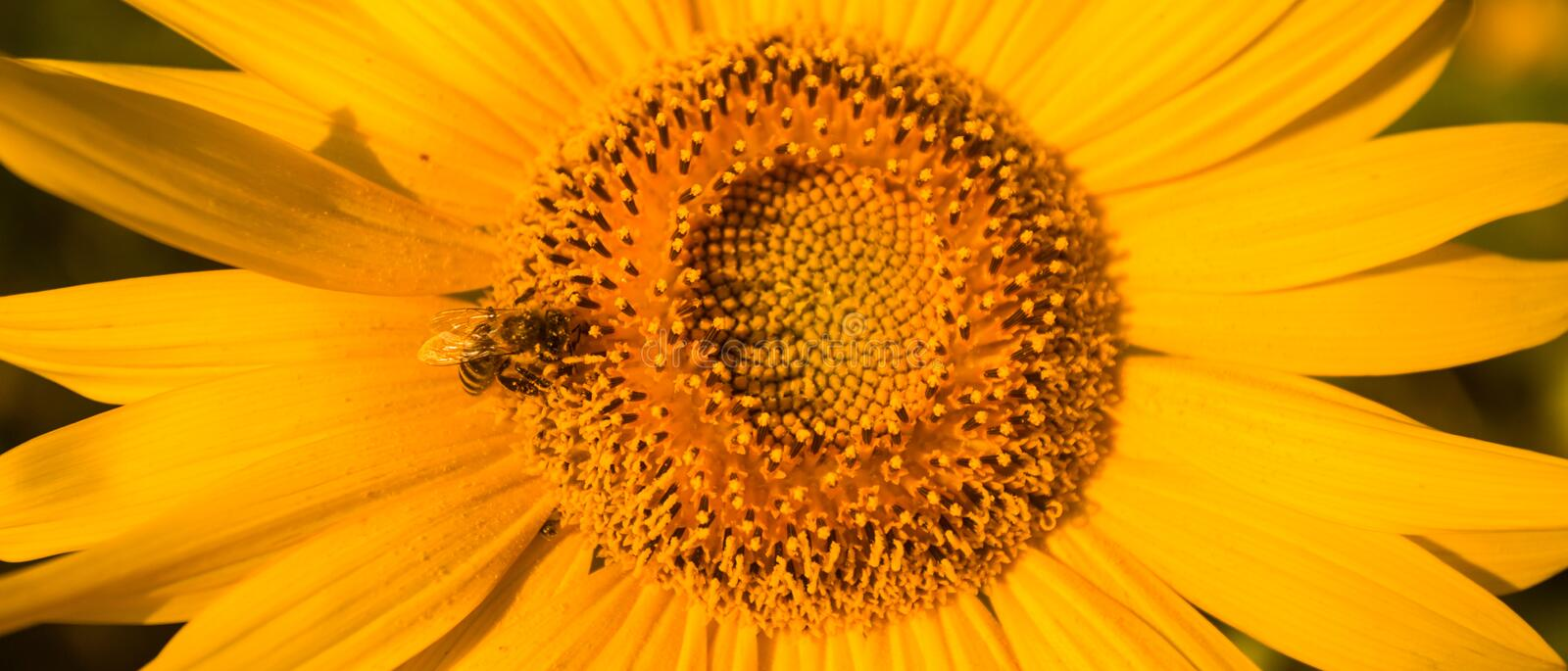 Spiral pattern in center of sunflower close up showing beautiful texture with neatly arrangement. Of nature creation royalty free stock photos