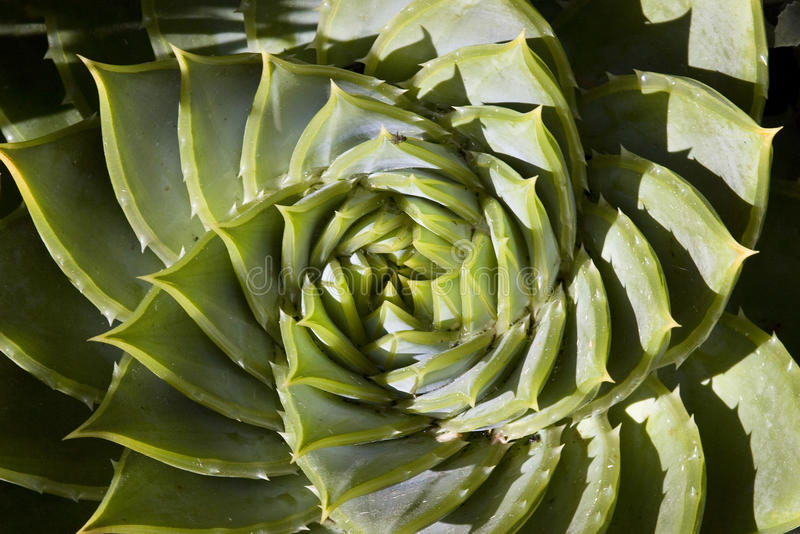 Download Spiral Shaped Succulent Plant Stock Photo - Image: 28909504