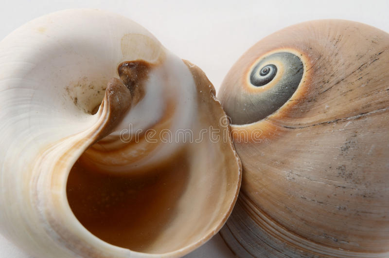 Spiral shells royalty free stock photo