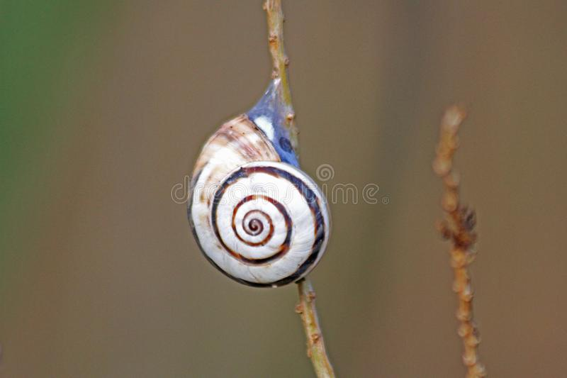 Spiral snail stuck on a tree branch stock photo