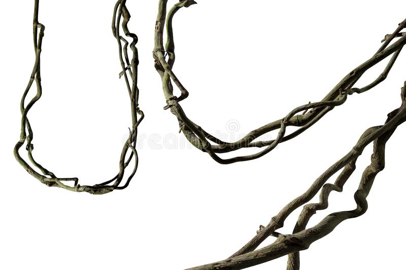 Spiral twisted jungle tree branch, vine liana plant isolated on white background, clipping path included. Real zise stock images