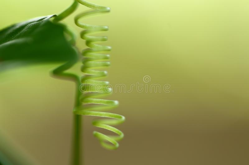 Organic design concept- vine in nature,. Spiral vine- organic nature background concept .macro photograph, in natural royalty free stock image