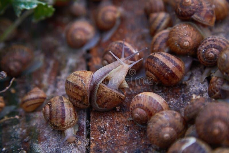 SpiralAspersa Muller, Maxima Snail, organiskt lantbruk, snigellantbruk, ätliga sniglar på träsnigelbräden royaltyfri bild