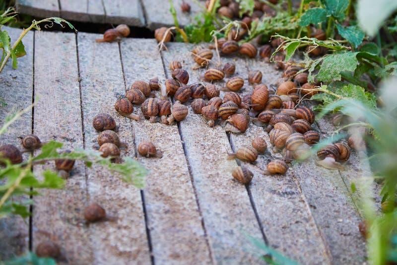 SpiralAspersa Muller, Maxima Snail, organiskt lantbruk, snigellantbruk, ätliga sniglar på träsnigelbräden arkivbilder