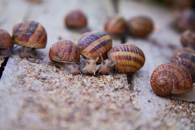 SpiralAspersa Muller, Maxima Snail, organiskt lantbruk, snigellantbruk, ätliga sniglar på träsnigelbräden fotografering för bildbyråer