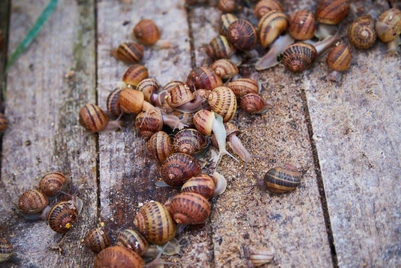SpiralAspersa Muller, Maxima Snail, organiskt lantbruk, snigellantbruk, ätliga sniglar på träsnigelbräden arkivfoto
