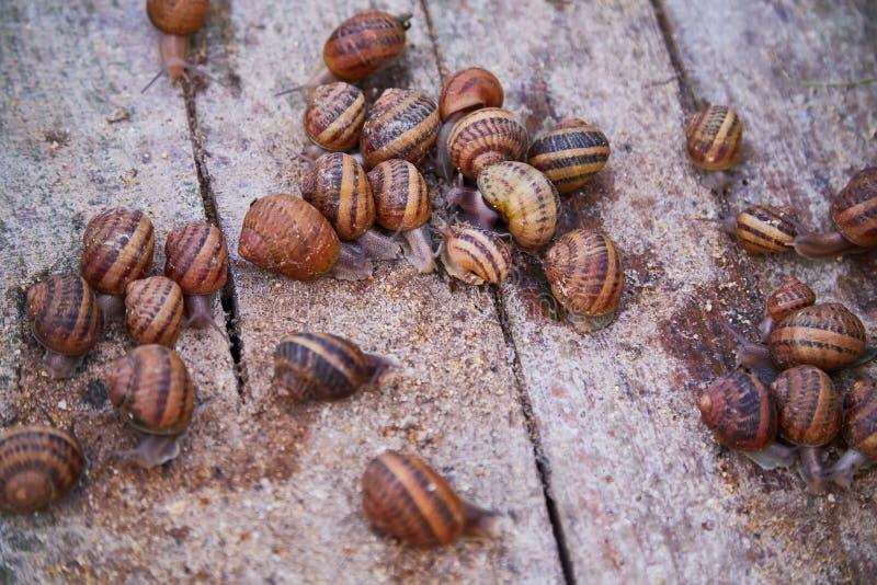 SpiralAspersa Muller, Maxima Snail, organiskt lantbruk, snigellantbruk, ätliga sniglar på träsnigelbräden arkivfoton