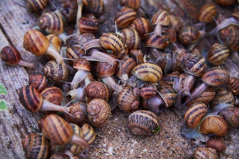 SpiralAspersa Muller, Maxima Snail, organiskt lantbruk, snigellantbruk, ätliga sniglar på träsnigelbräden royaltyfri fotografi