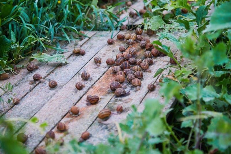 SpiralAspersa Muller, Maxima Snail, organiskt lantbruk, snigellantbruk, ätliga sniglar på träsnigelbräden arkivbild
