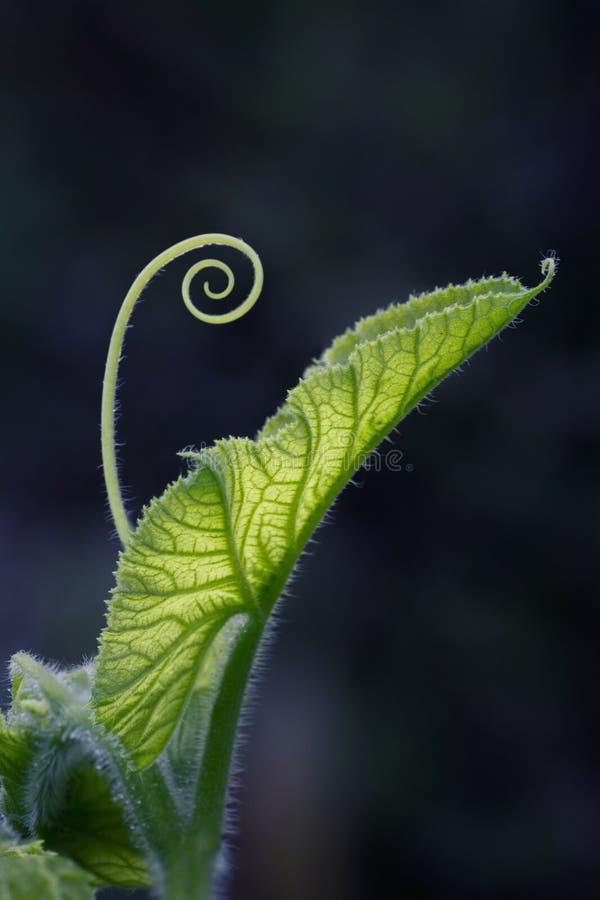 Spirale con i tiri e la foglia della zucca backlit immagine stock