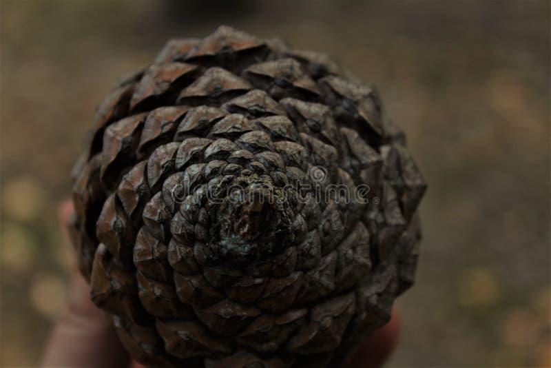 Spirale de cône de pin photo libre de droits