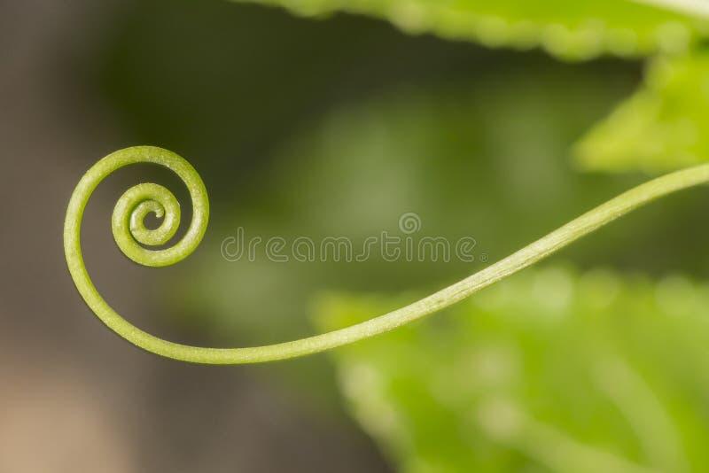 Spirale della passiflora fotografie stock