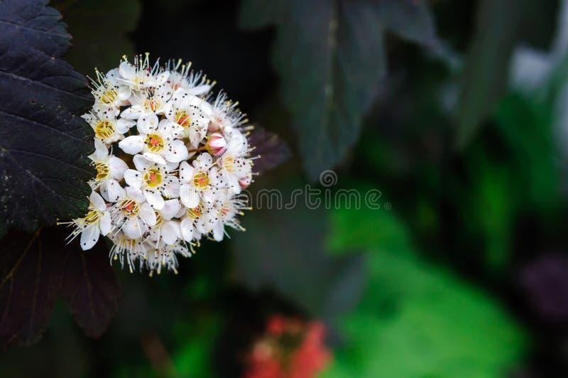 spirea在夏天庭院里,宏指令白花  免版税库存照片
