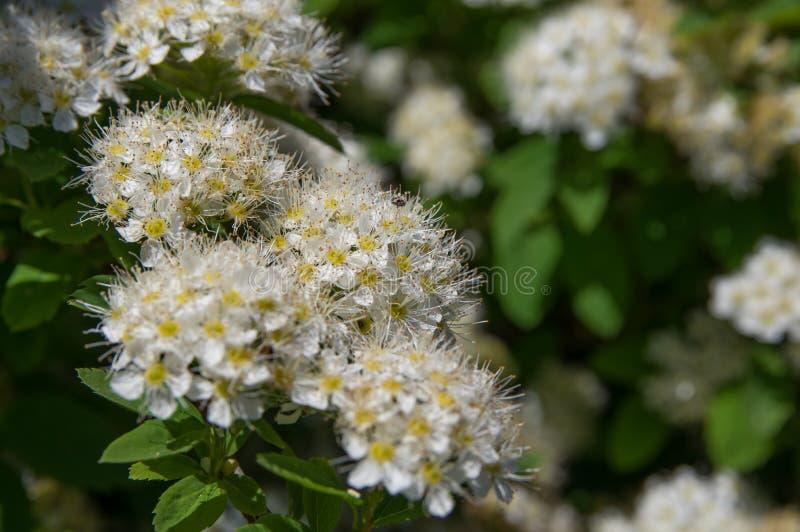 Spirea цветет конец-вверх, белый стоковое изображение