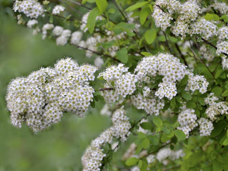 Spirea blomningfilial med delikata små vita blommor royaltyfri fotografi
