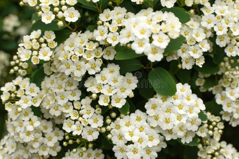 Spirea buisson avec les fleurs blanches fleurissent photos stock