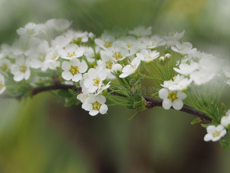 Spirea cinzento, ramo bonito com flores brancas imagens de stock royalty free
