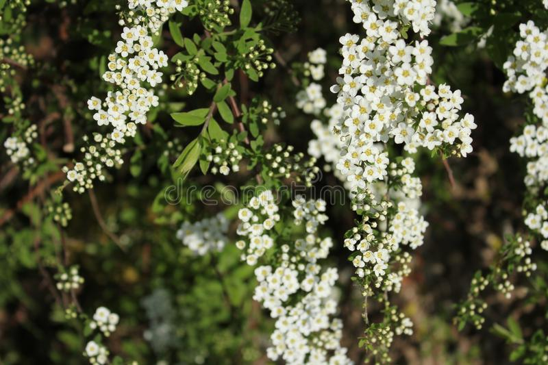 Spirea de fleurs blanches image stock